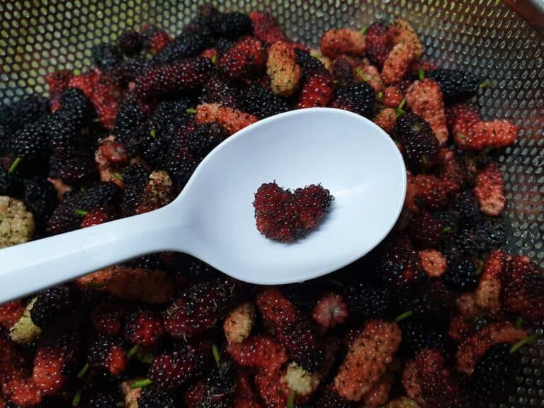 桑椹Mulberry 之迷 只有認識它的人知道和懂得珍惜它
